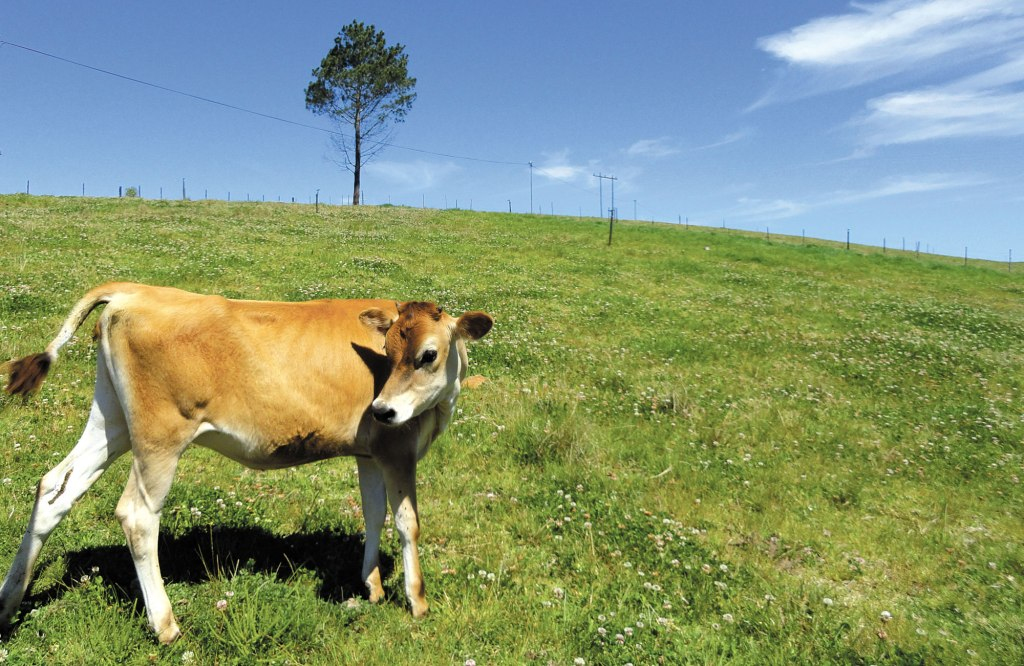 FACE-Cow2